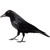Black Crow Png Image PNG Image - Crow HD PNG