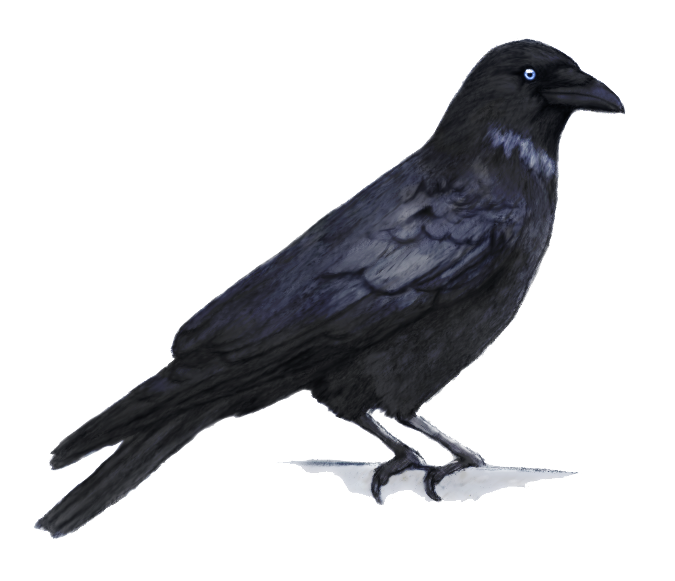 Crow PNG - Crow HD PNG