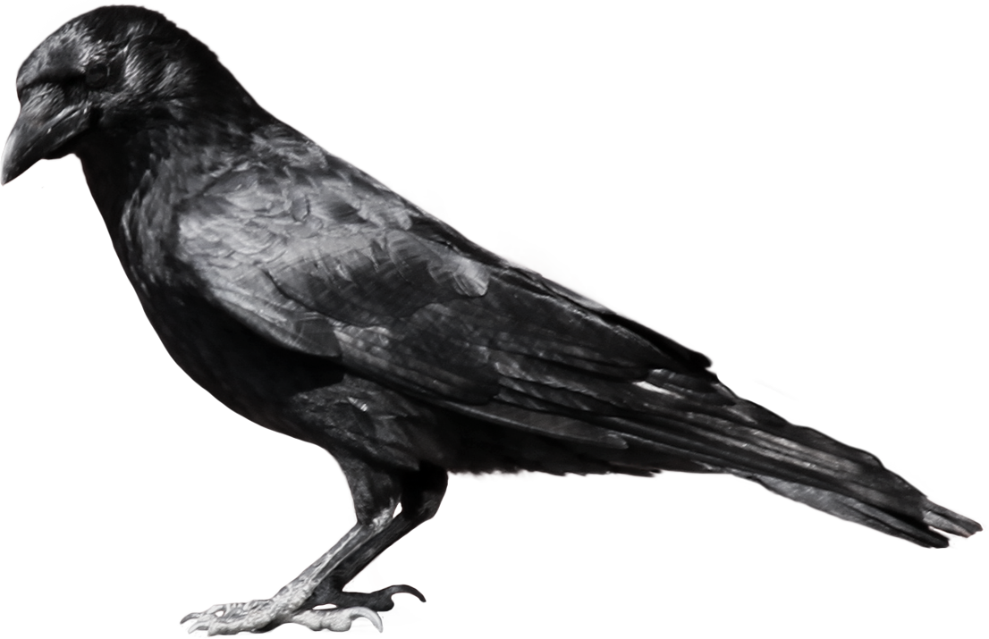 Crow PNG image - Crow HD PNG