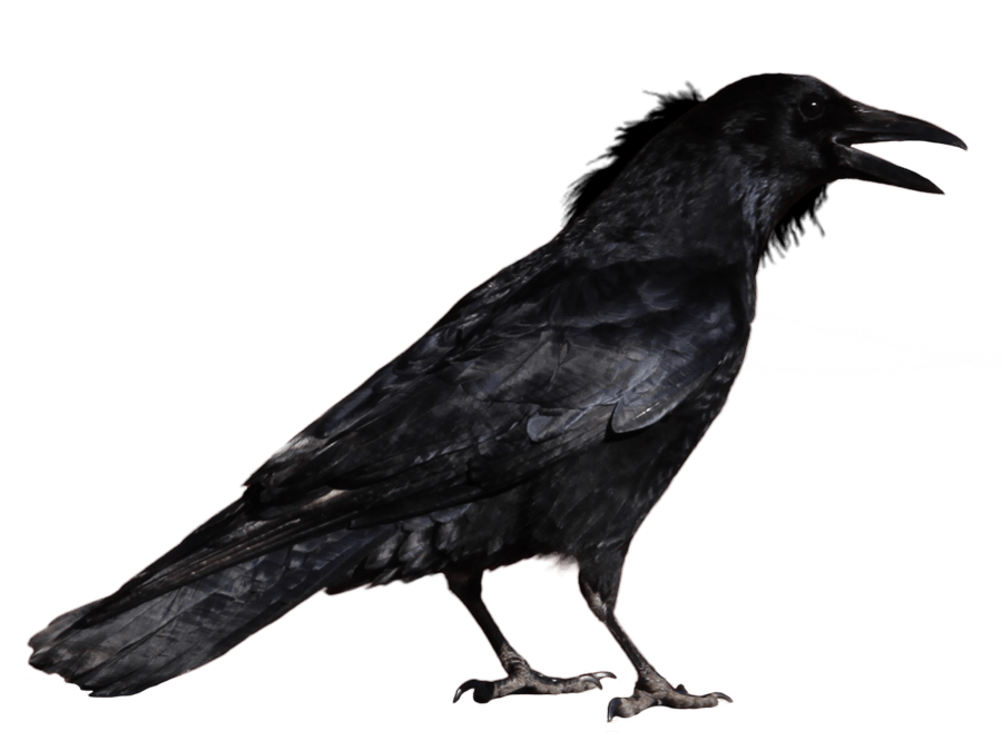 Crow Png Image PNG Image - Crow HD PNG