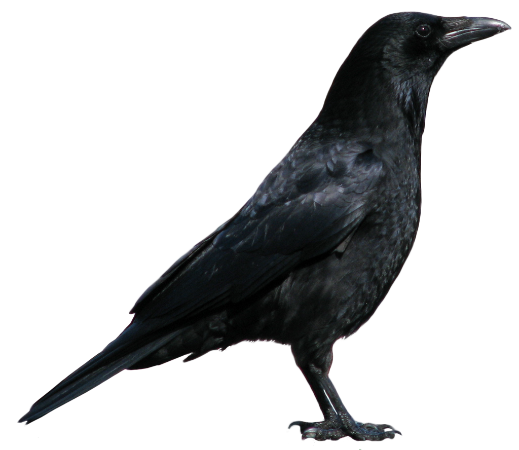 Crow PNG3103.png - Crow HD PNG