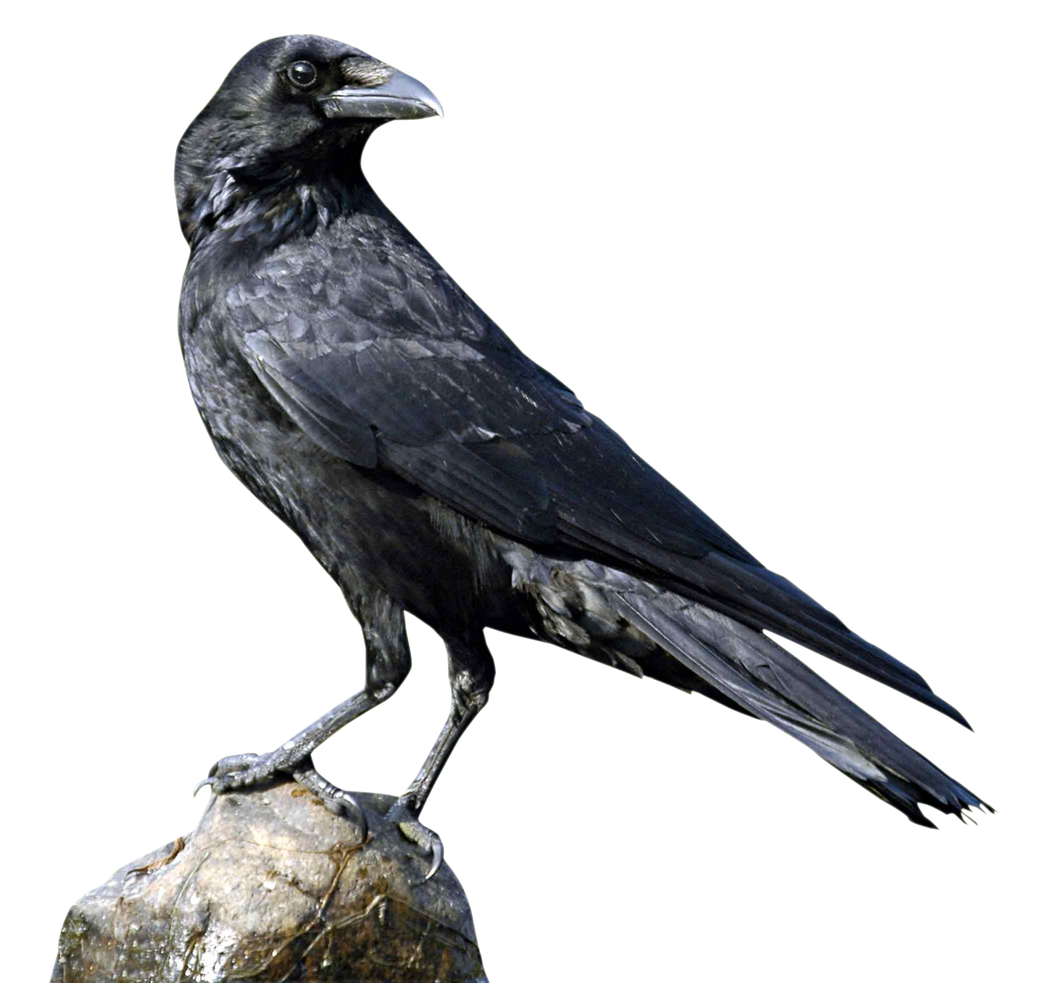 Crow PNG - 10306