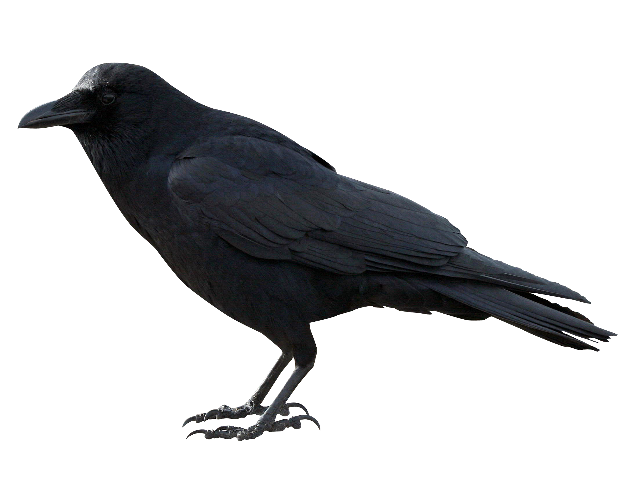 PlusPNG - Crow PNG