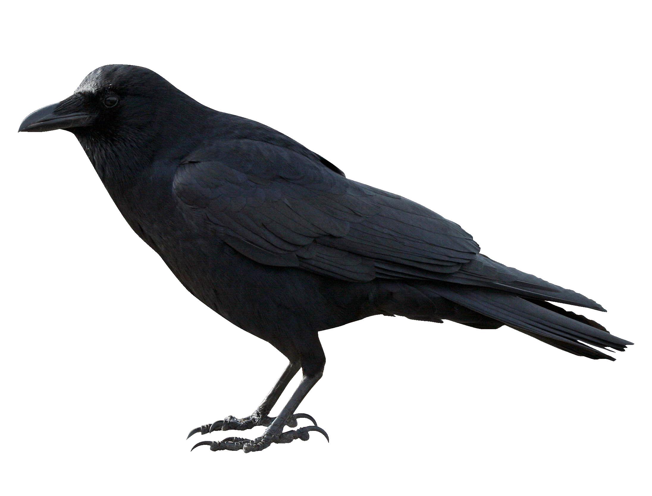 Crow PNG - 10312