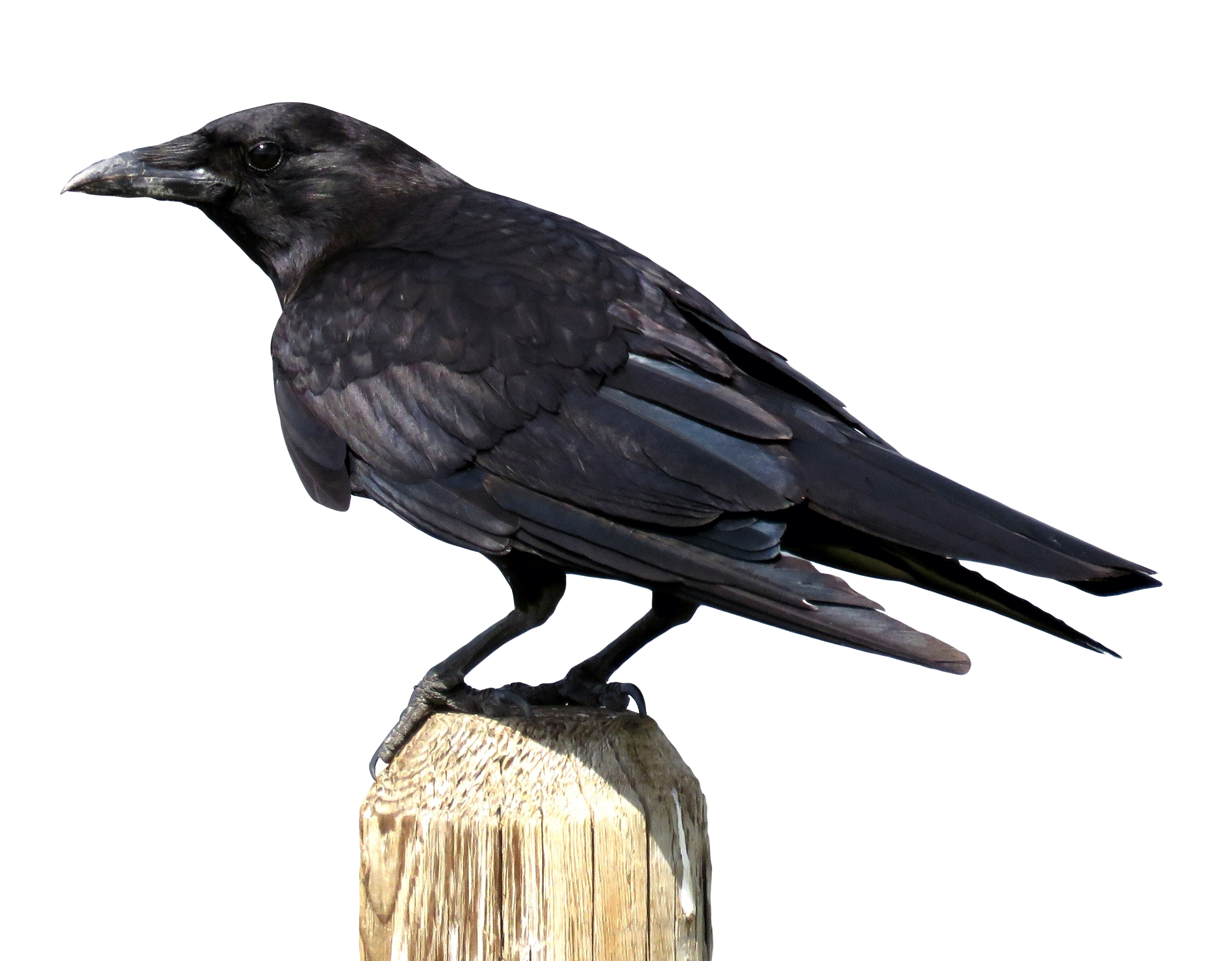 Crow PNG - 10315