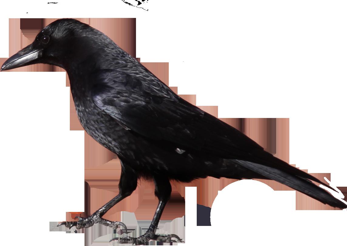Black crow PNG image - Crow PNG