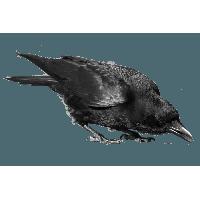 Black Crow Png Image PNG Image - Crow PNG