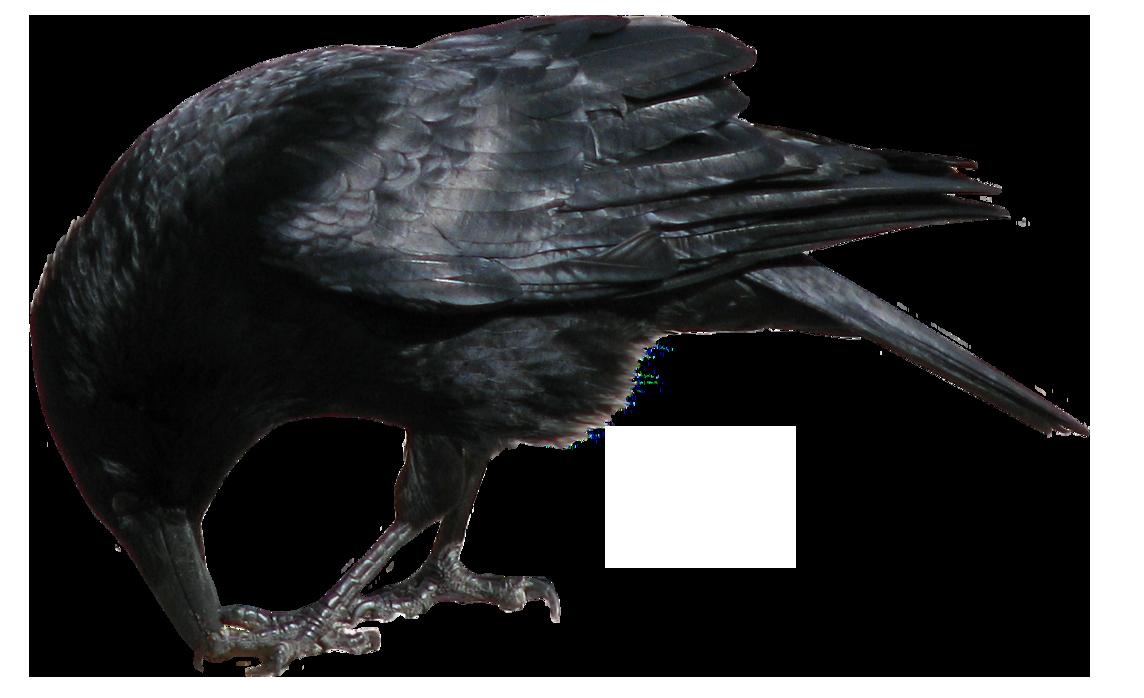 Crow PNG - 10314