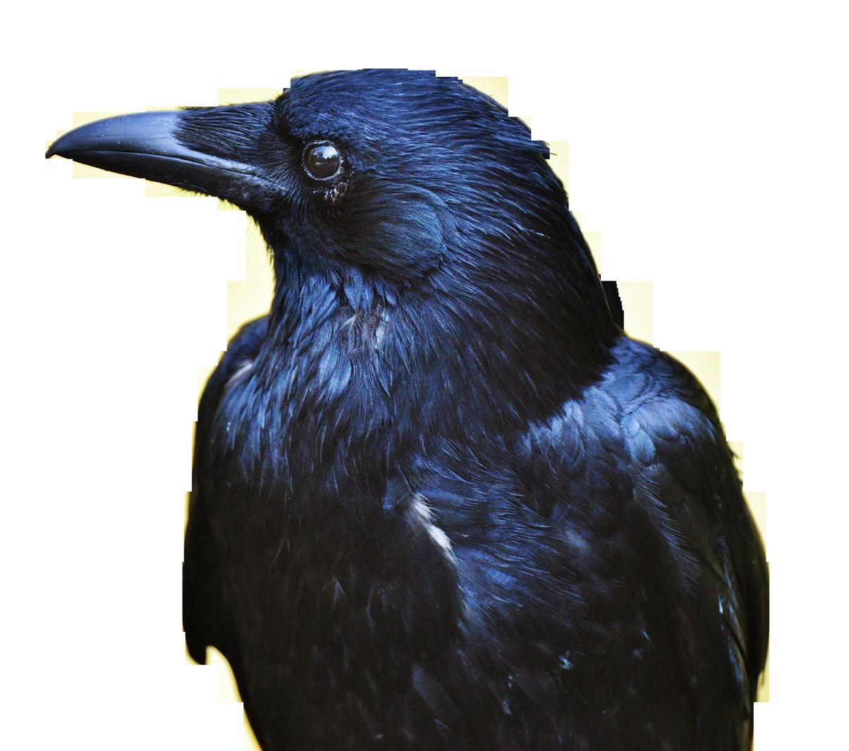 Crow PNG Transparent Image - Crow PNG