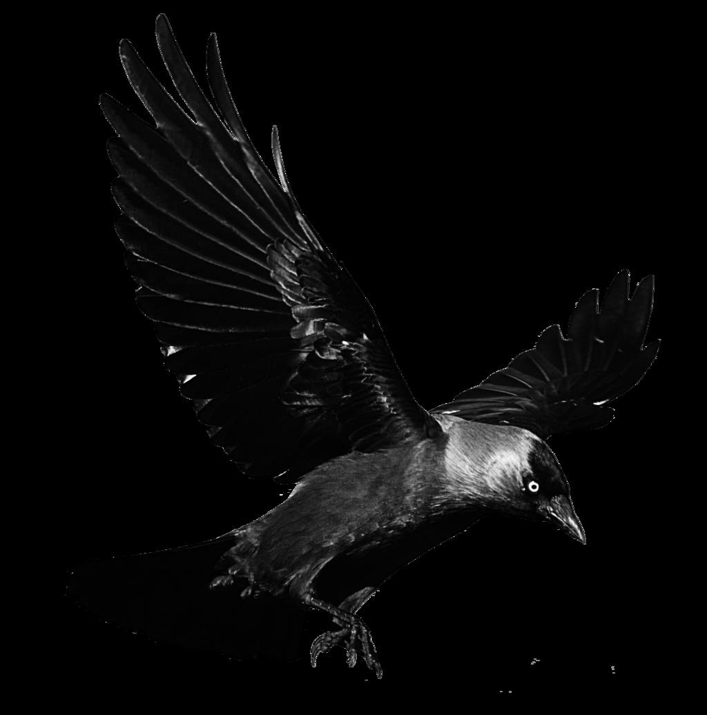Crow PNG - 10308