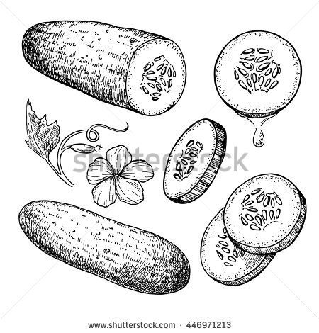 Cucumber hand drawn vector set. Isolated cucumber, sliced pieces and plant.  Vegetable engraved - Cucumber Slice PNG Black And White