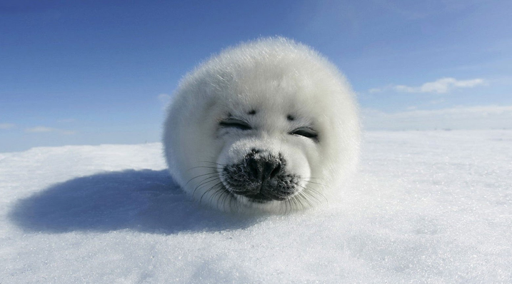 Baby Seals are cute u003c3 - Cute Baby Seal PNG