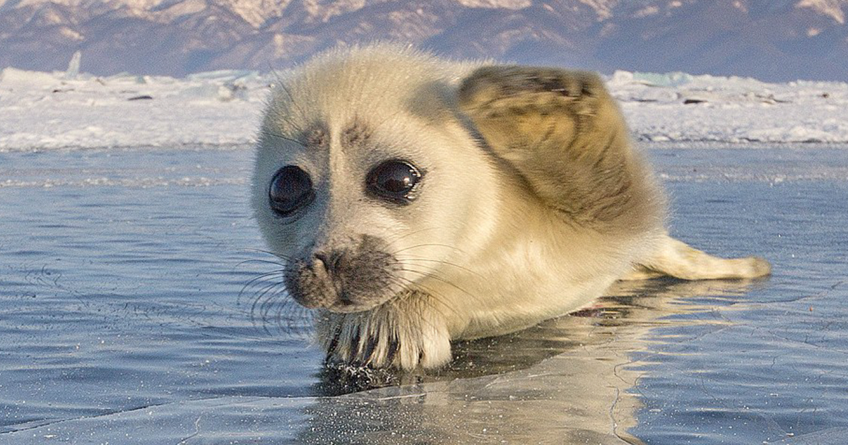 Photographer Spent 3 Years Trying To Get His First Shot Of Seals On Ice,  Until He Met This Pupu2026 | Bored Panda - Cute Baby Seal PNG