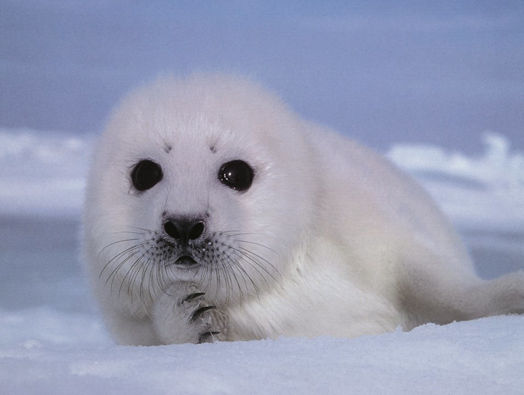 What Do Seals Eat? - Cute Baby Seal PNG