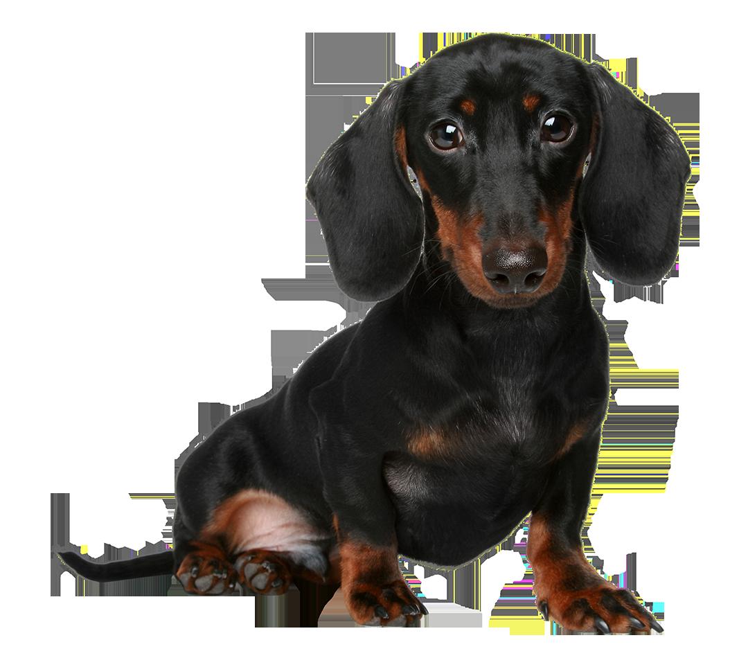 63-miniature-dachshund - Cute Dachshund PNG
