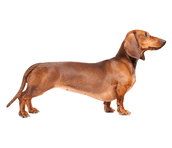 Appearance of Dachshund - Cute Dachshund PNG