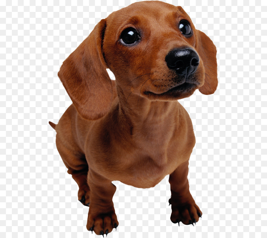 Dachshund Puppy Pet Dog training Veterinarian - dog - Cute Dachshund PNG