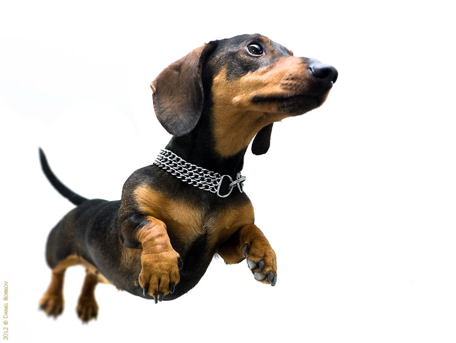 flying dachshund by Q-DJah PlusPng.com  - Cute Dachshund PNG