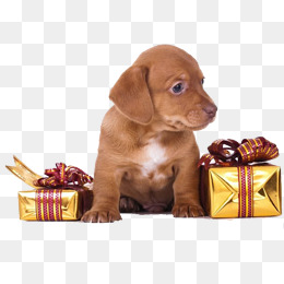I received a gift of Dachshund, Pet, Cute, Dachshund PNG Image - Cute Dachshund PNG