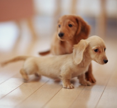 Miniature Dachshunds.....how cute are they?? Little sweeties! - Cute Dachshund PNG