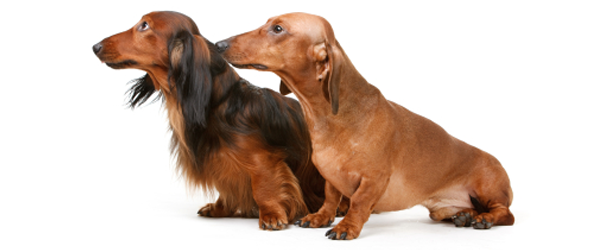 Unlike simply buying a Dachshund - or any other breed of dog for that  matter - without a pedigree certificate, if you buy . - Cute Dachshund PNG