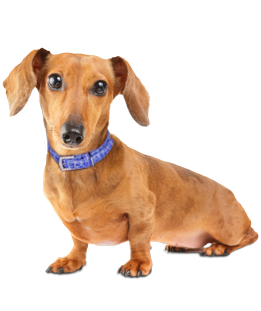 What do you need to know before you adopt a Dachshund? We asked the experts! - Cute Dachshund PNG