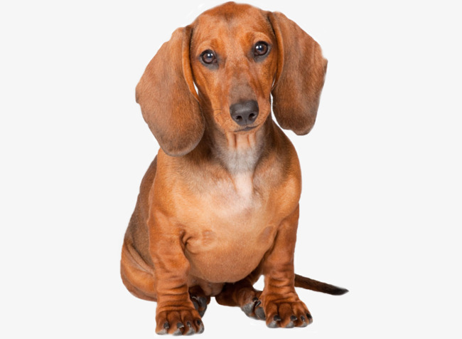 Yellow Dachshund, Pet Dog, Dachshund Dog With Short Hair, Doberman PNG Image - Cute Dachshund PNG