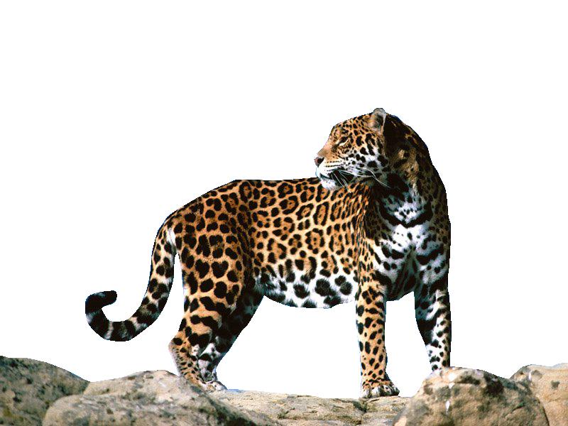 Cute Jaguar PNG - 70058