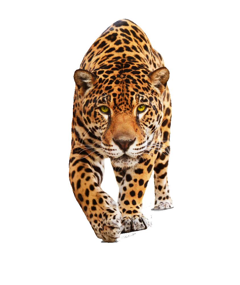 Cute Jaguar PNG - 70057