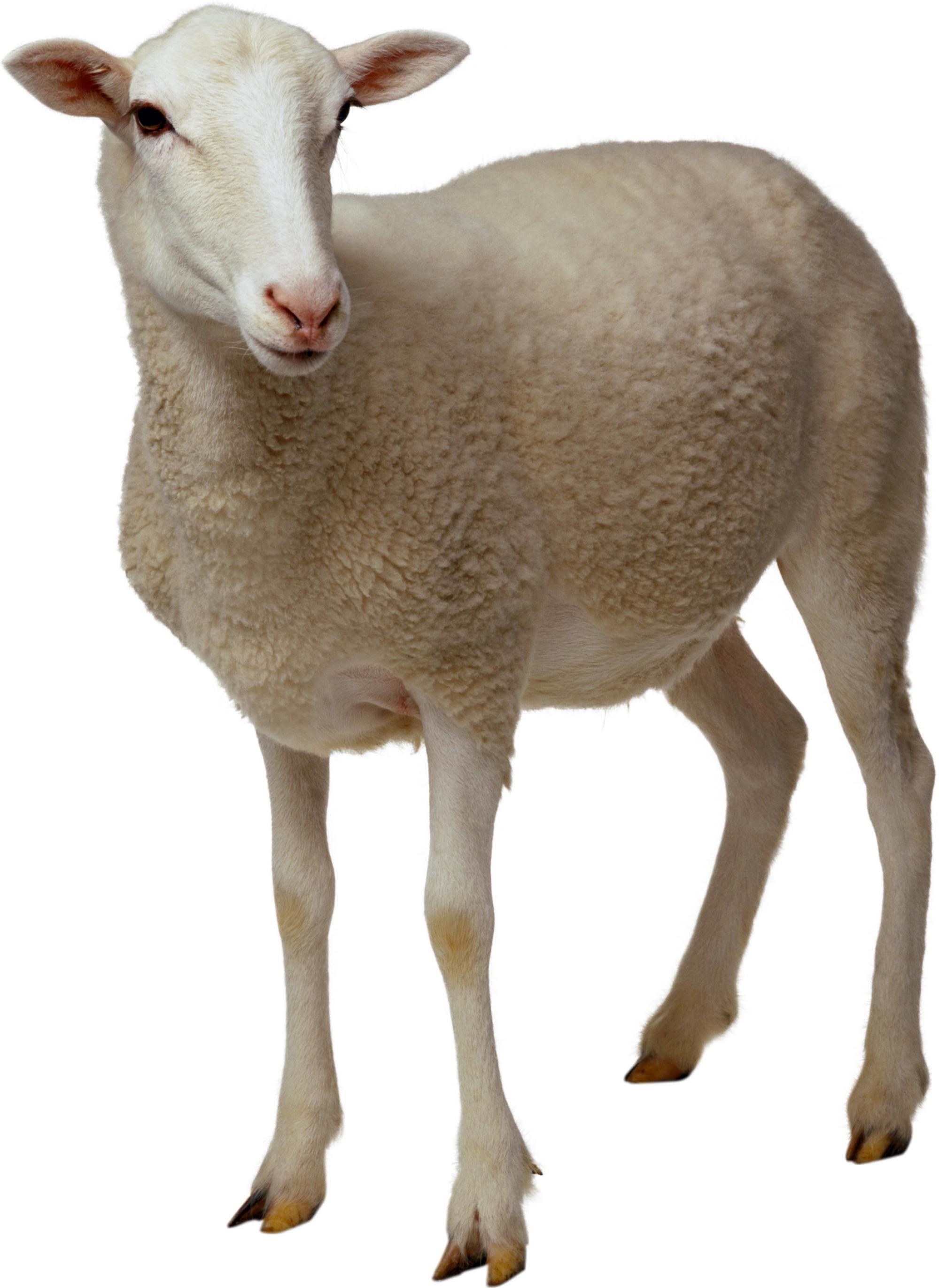 5f05721cc8991c96f75d45c7360eb858 · sheep PNG2717 - Cute Lamb PNG HD
