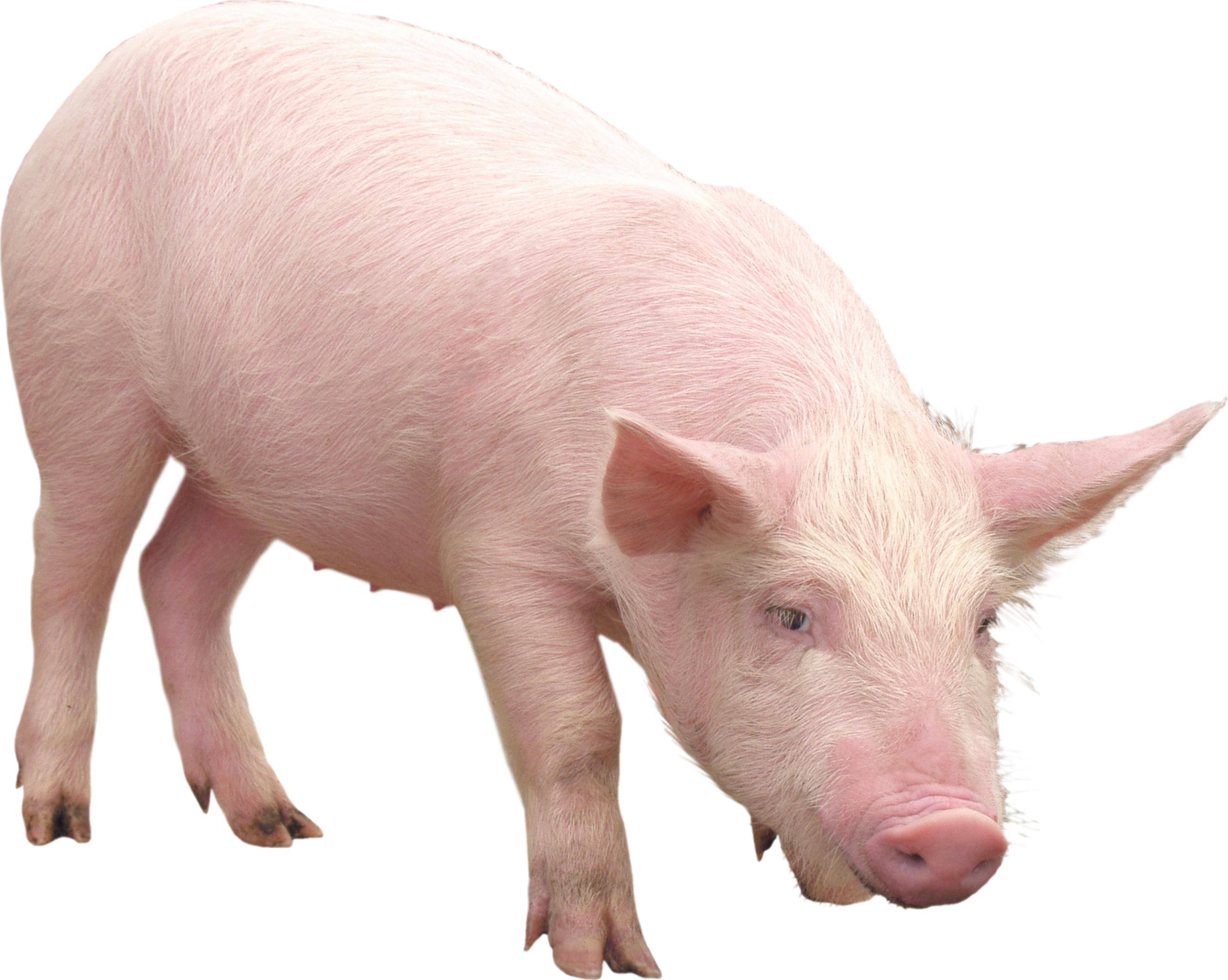 Cute Pig PNG HD - 122435