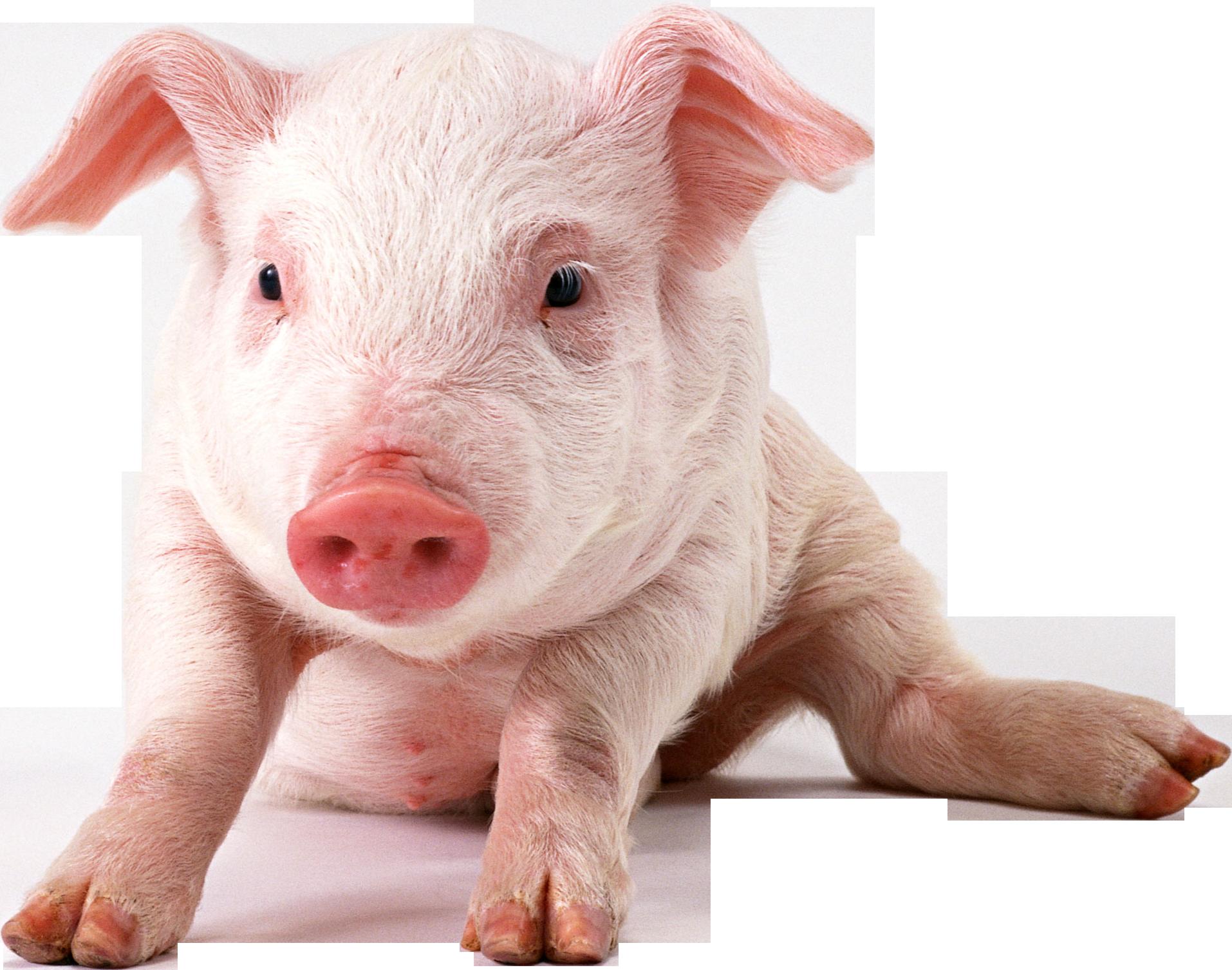 Cute Pig PNG HD - 122427