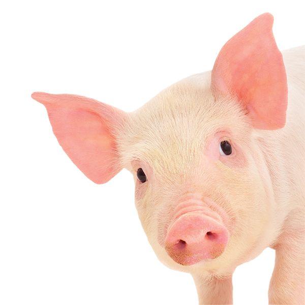 Cute Pig PNG HD - 122424