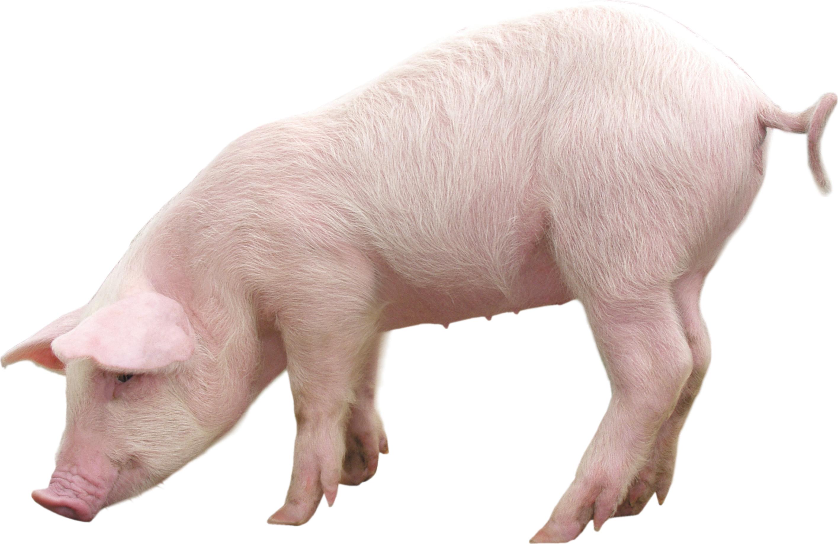 Cute Pig PNG HD - 122430