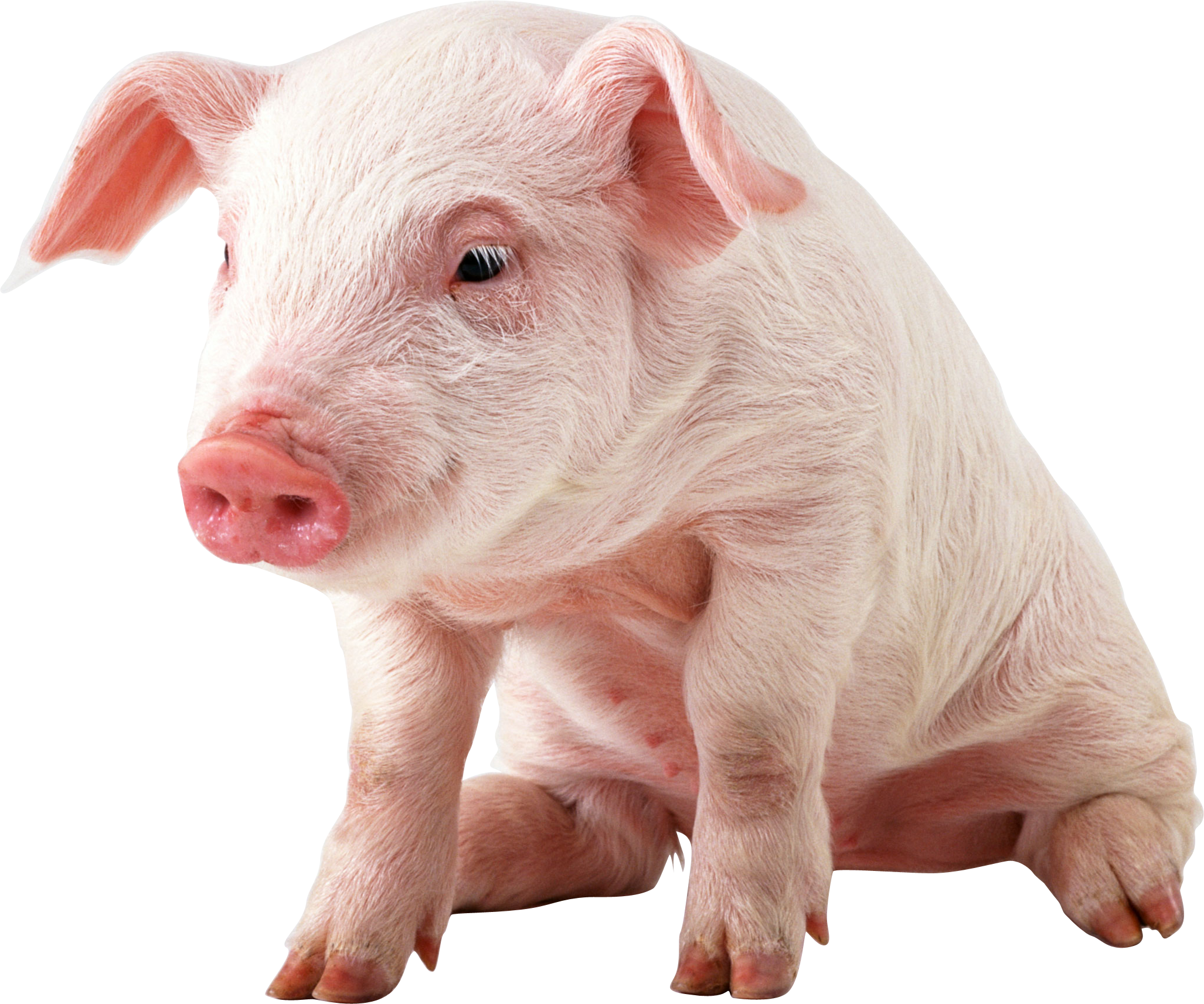 Cute Pig PNG HD