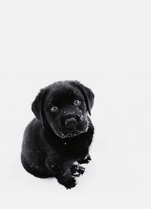 Black lab puppy in the snow! - Cute Puppies PNG Black And White