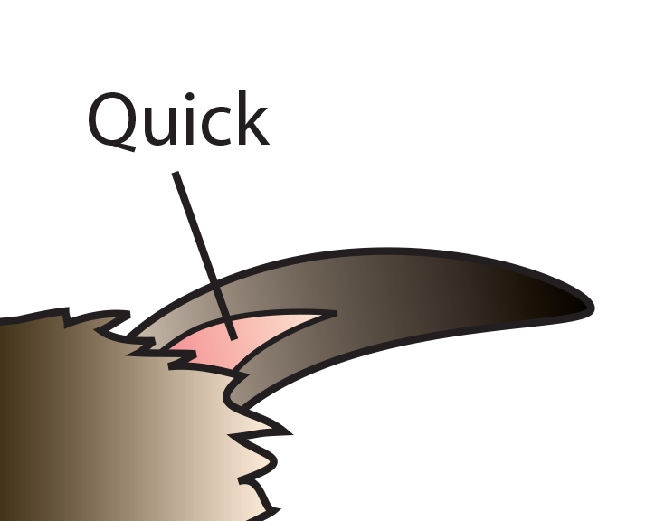 Diagram of a rabbit nail and quick - Cutting Nails PNG