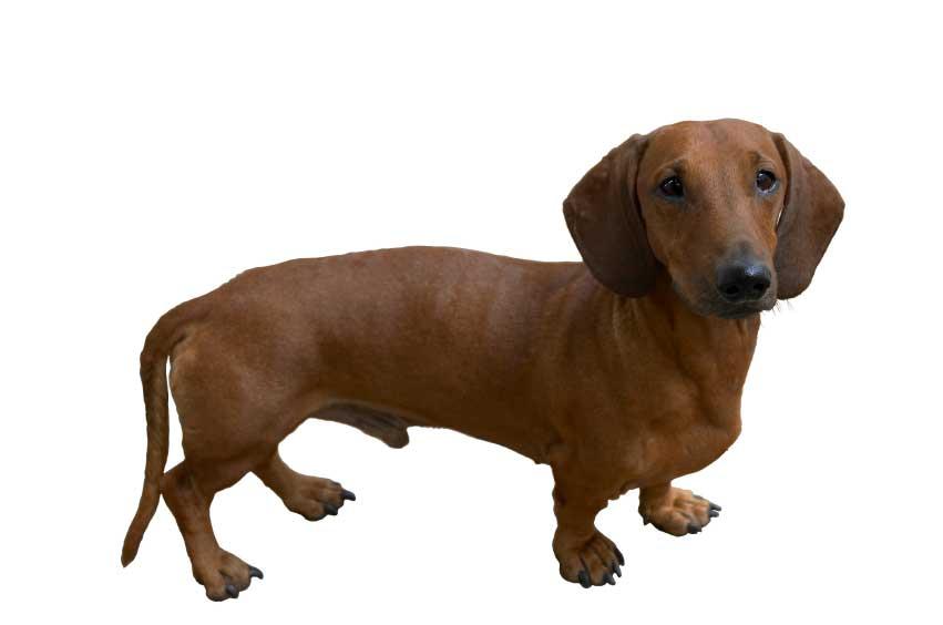 Dachshund Dog PNG-PlusPNG.com-851 - Dachshund Dog PNG