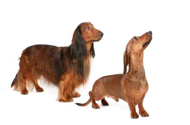 Dachshund - Dachshund Dog PNG