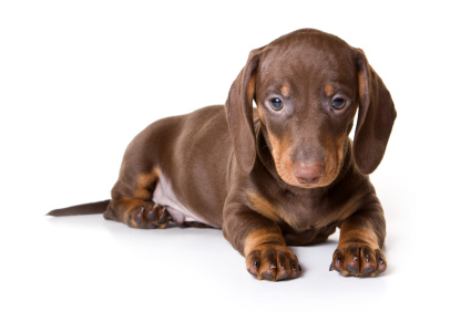 Dog - Dachshund Dog PNG