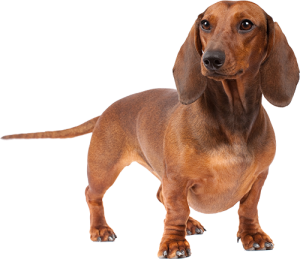 Expert advice on the best dog food for your Dachshund puppy, adult or  senior dog. We also weigh in on good dog foods for skin allergies and  sensitive PlusPng.com  - Dachshund Dog PNG