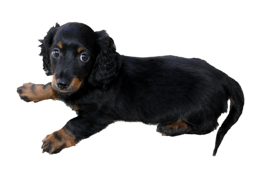 Long haired dachshund puppy PNG by makiskan PlusPng.com  - Dachshund Dog PNG