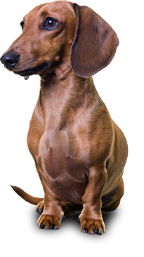 Personality. Dachshunds PlusPng.com  - Dachshund Dog PNG