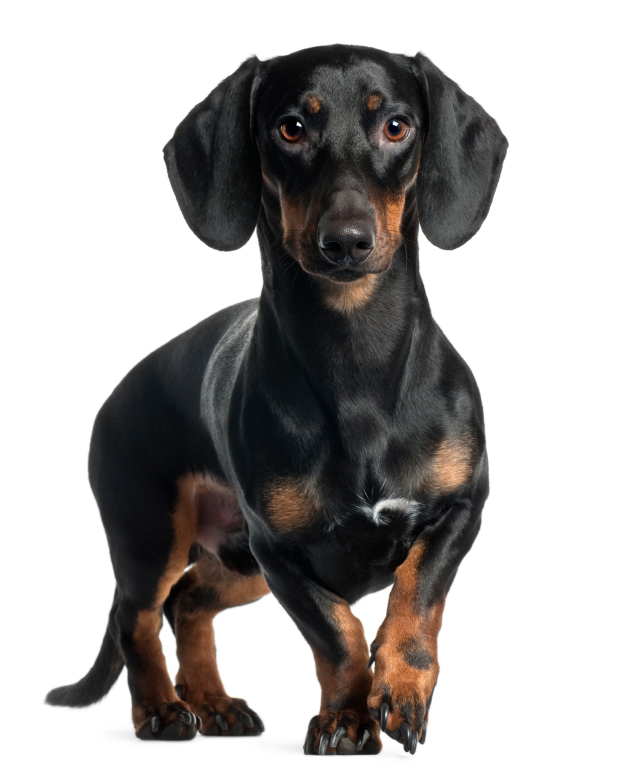 Physical characteristics of the Dachshund - Dachshund Dog PNG