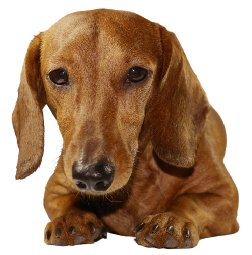 Why choose a Dachshund to be the star of your ecard? - Dachshund Dog PNG