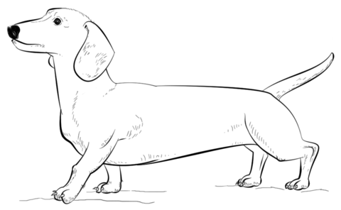 Click to see printable version of Dachshund dog Coloring page - Dachshund PNG Black And White