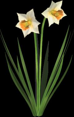 . PlusPng.com daffodil-01.png PlusPng.com  - Daffodils PNG