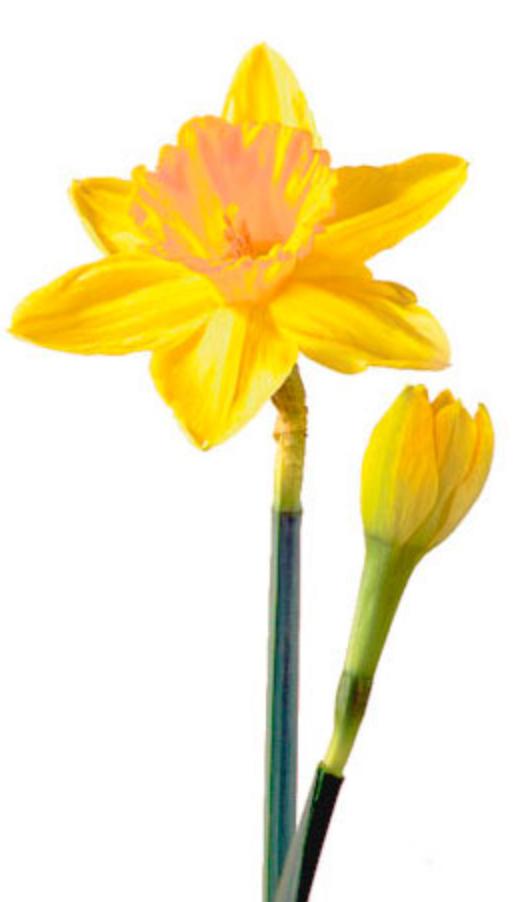 daffodil belle fiori - Daffodils PNG