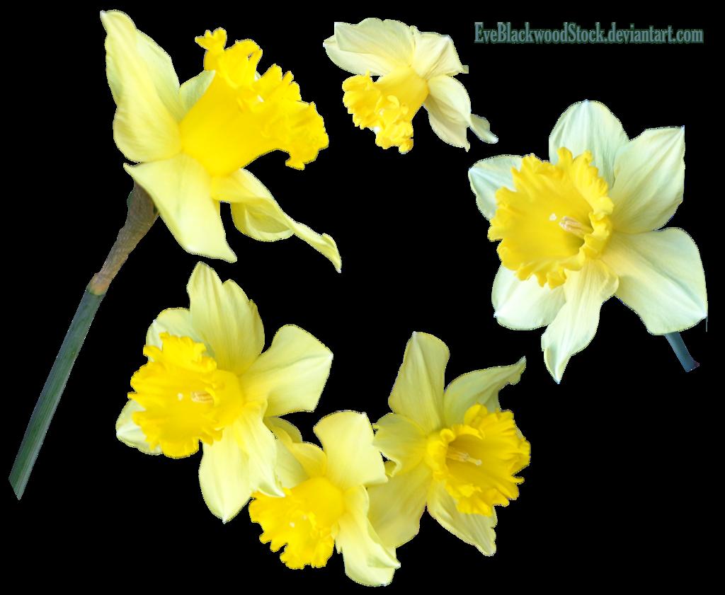 Daffodils 2 PNG by EveBlackwoodStock Daffodils 2 PNG by EveBlackwoodStock - Daffodils PNG