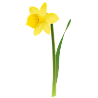 Daffodils Png Picture PNG Image - Daffodils PNG